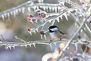 A Black-capped Chickadee (Poecile atricapillus) perched on an ice covered rose branch after an ice storm (freezing rain) in the Fraser Valley of British Columbia, Canada.