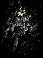 a discarded Christmas tree found discarded along the road with a lone snowflake ornament still hanging on it.  Black and White with tinted snowflake