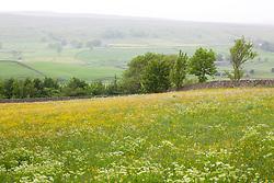 Field of buttercups and Sweet Cicely near Wensleydale, Yorkshire. Ranunculus acris, Myrrhis odorata