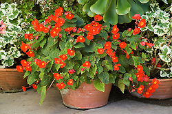 Begonia 'Flamboyant' growing in a terracotta pot