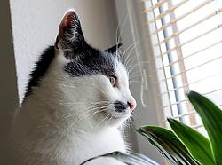 THEMENBILD - das Portrait einer schwarz weißen Hauskatze, aufgenommen am 05. August 2018, Kaprun, Österreich // the portrait of a black white domestic cat on 2018/08/05, Kaprun, Austria. EXPA Pictures © 2018, PhotoCredit: EXPA/ Stefanie Oberhauser