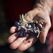 Kalamata Olive Oil