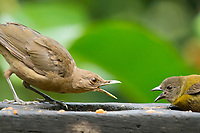 Clay-colored Thrush, Turdus grayi, and female Passerini's Tanager, Ramphocelus passerinii, compete for fruit at a feeder in Sarapiquí, Costa Rica
