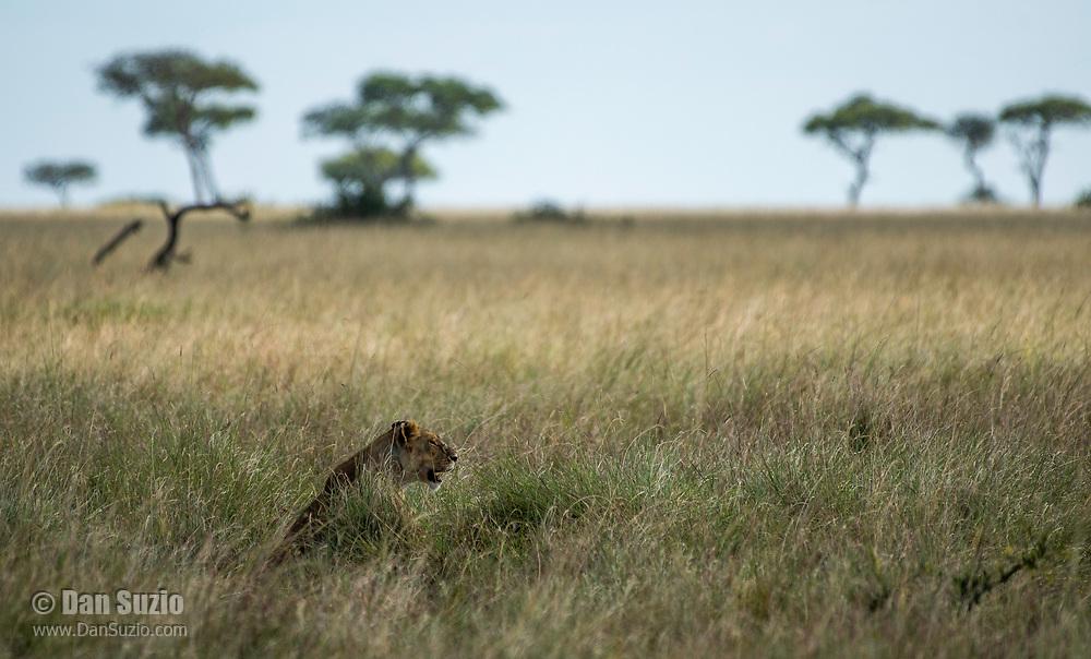 A female Lion, Panthera leo  melanochaita, sits in tall grass in the Trans Mara area west of Maasai Mara National Reserve, Kenya