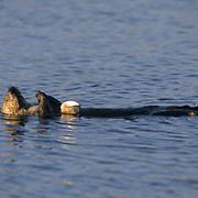 Sea Otter, (Enthydra lutris) California