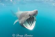 basking shark, Cetorhinus maximus, the 2nd largest fish in the sea, feeding by straining plankton through gill rakers, off Land's End, Cornwall, United Kingdom ( North Atlantic Ocean )