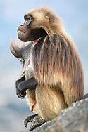 Ein männlicher Dschelada (Theropithecus gelada) droht einem Konkurrenten, Debre Libanos, Region Oromia, Äthiopien<br /> <br /> A male Jelada (Theropithecus gelada) threatens a competitor, Debre Libanos, Oromia Region, Ethiopia