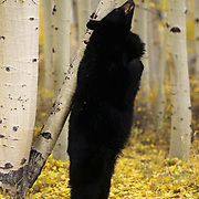 Black Bear (Ursus americanus) in the late fall,  Rocky Mountains.  Captive Animal.