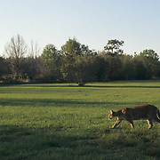 Florida Panther (Felis concolor coryi) crossing a field in the Florida Everglades. Endangered Species.  Captive Animal.