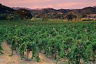 Oak trees and vineyards at sunset, Parducci, Ukiah, Mendocino County, California