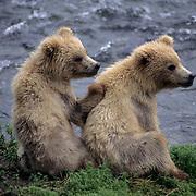 Alaskan brown bear,(Ursus middendorffi) pair of cubs at Brooks Falls on the Brooks River, Alaska.