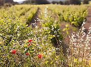 Poppies growing at a vineyard in Cadière d'Azur, near Bandol, France