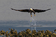 A bald eagle (Haliaeetus leucocephalus) takes off with a fish it caught in Hood Canal near Big Beef Creek, Seabeck, Washington.