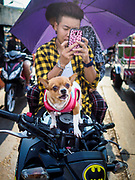 22 JANUARY 2019 - PHRA PRADAENG, SAMUT PRAKAN, THAILAND:  A passenger with a Chihuahuadog on a motorcycle and vehicle ferry that crosses the Chao Phraya River in Phra Pradaeng. The use of vehicle ferries across the river has gone down as the government has built bridges to connect communities on both sides of the river. The Phra Pradaeng ferries are the busiest ferries in the Bangkok metropolitan area. Since the BTS Skytrain now stops a few kilometers from the ferry, the number of commuters going into Bangkok that use the ferry has increased.      PHOTO BY JACK KURTZ