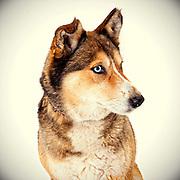 Beautiful husky.  ©Anne Chadwick Williams
