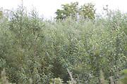 Willow, crop, biomass, harvest, fuel, farming, wet, field, energy,