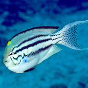 Blackstripe Angelfish inhabit reefs, picture taken Raja Ampat, Indonesia
