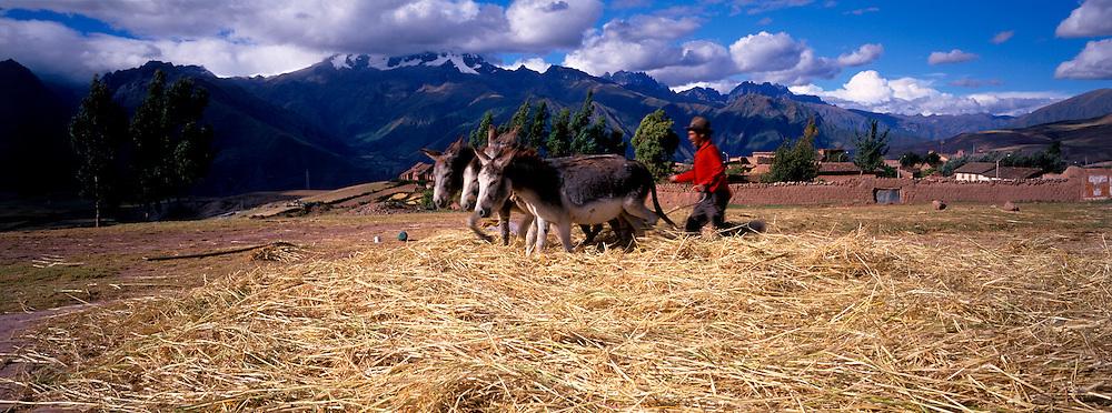 PERU, AGRICULTURE donkey team threshing barley