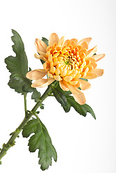 Chrysanthemum cut out