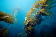 Pacific Ocean Kelp in California