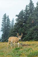 Blacktail deer on Hurricane Ridge, Olympic National Park, WA.