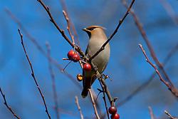 pestvogel vogels fauna hilversum