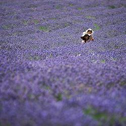 Mayfield Lavender Fields,Banstead