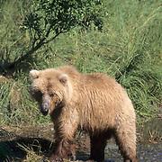 Alaskan brown bear (Ursus middendorffi) adult fishing for salmon. Brooks River, Alaska