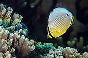 Redfin Butterflyfish (Chaetodon lunulatus)<br /> Coral Reef<br /> Koro Island<br /> Fiji. <br /> South Pacific