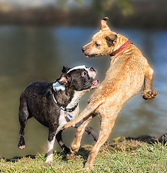 Two dogs play and chase trying to catch each other