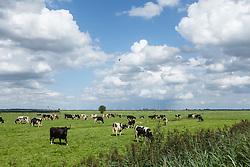 koe, zwartbont, Bos domesticus