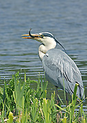GREY HERON  Ardea cinerea  WITH FISH ON THE EDGE OF A LAKE