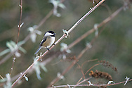 A Black-capped Chickadee (Poecile atricapillus) resting on a branch in British Columbia, Canada