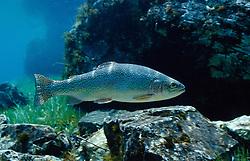 Oncorhynchus mykiss, Regenbogenforelle, Rainbow trout
