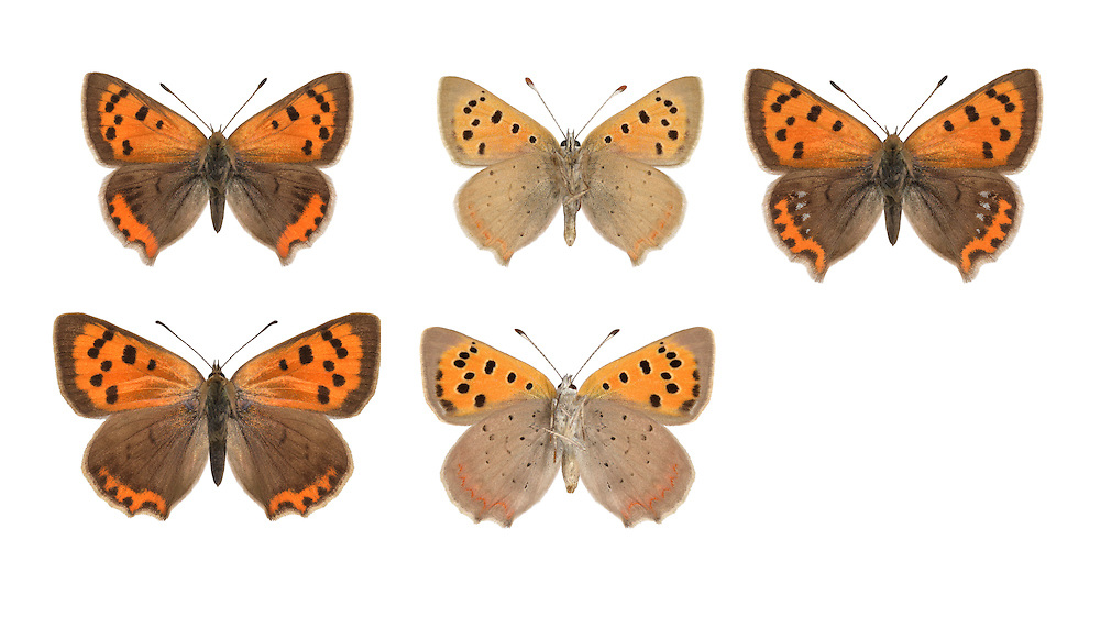 Small Copper - Lycaena phlaeas - male (top row) - form caeruleopunctata (top right) - female (bottom row). Wingspan 25mm. A colourful butterfly associated with open, grassy habitats. Adult has striking orange upperwings, variably marked with dark brown; underwings have similar pattern to upperwings but grey-buff replaces the dark brown. Has two or three broods: seen on the wing May-September. Larva feeds on Sheep's Sorrel. Locally common in undisturbed meadows, grassy heaths and sea cliffs.