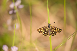 Chequered skipper butterfly Carterocephalus palaemon, adult male basking on a grass stem, part of the Back from the Brink project to reintroduce this species to England, Northamptonshire, May