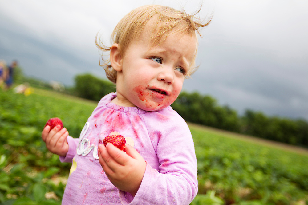 Evelyn Kroll, 14 months, of River Falls, WI, helps her family by picking and eating berries at Afton Apples' pick-your-own strawberry patch in Hastings June 27, 2014.