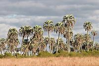 PALMERAS YATAY (Syagrus yatay), PARQUE NACIONAL EL PALMAR, PROV. DE ENTRE RIOS, ARGENTINA