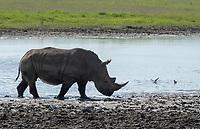 Southern White Rhinoceros, Ceratotherium simum simum, at the edge of a pond in Lake Nakuru National Park, Kenya