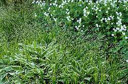 White and green association of Melica uniflora with Hosta 'Thomas Hogg' and Geranium phaeum 'Album'.