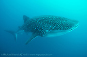 A massive pregnant Whale Shark, Rhincodon typus, swims near Darwin Island, Galapagos, Ecuador. This location is one of the few spots in the world where pregnant females of this species congregate, possibly to deliver babies in the surrounding area.