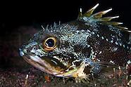 Helicolenus percoides (Jock Stewart, Sea Perch)