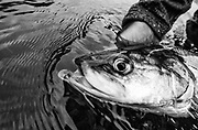 A shefish, also known as the tarpon of the north landed on a tributary of the Kuskokwim river.
