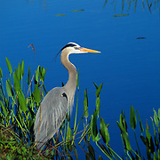 Great blue heron contemplating his next meal in Everglades National Park, FL.