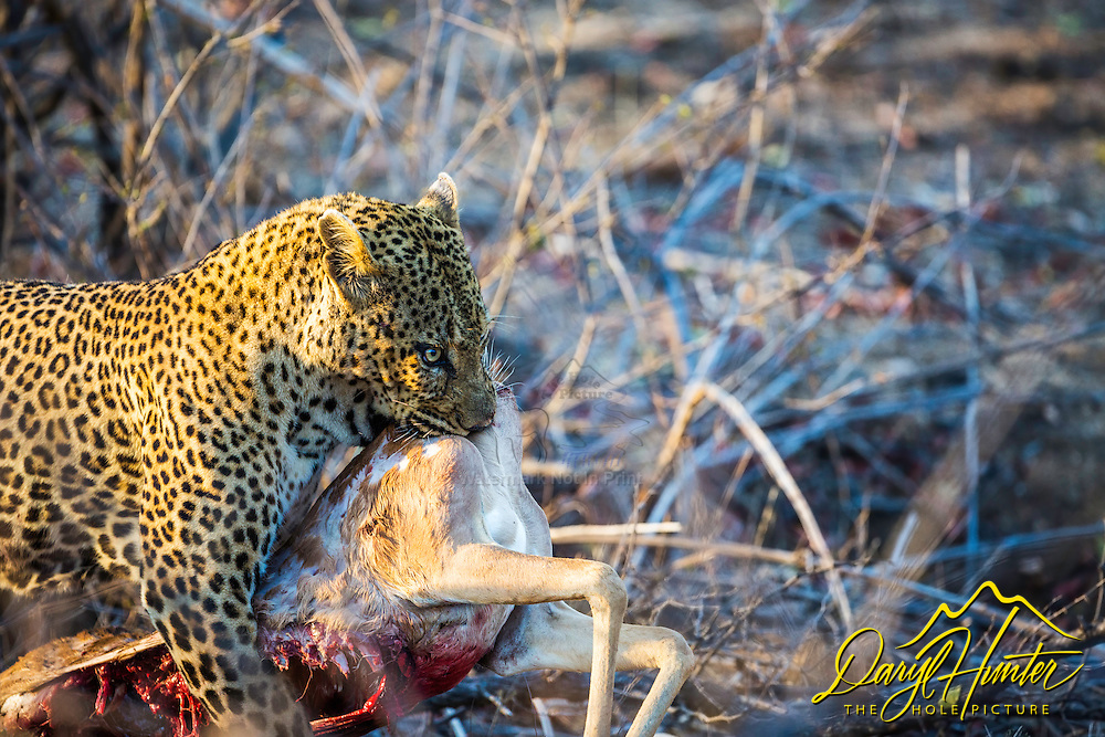 A leopard and his kill, an unfortunate impala. Nature is both brutal and beautiful.  The circle of life, thrives on death. Death enables life. Come see it with me.