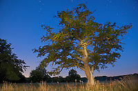 European Oak (Quercus robur), Klampenborg Dyrehave, Denmark. Fenced reserve enclosure.