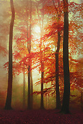 Beech tree forest on a misty November day at sunrise - photograph processed with texture overlays<br /> Redbubble prints: https://www.redbubble.com/shop/ap/56999713?asc=u