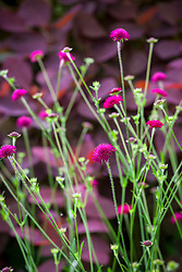 Knautia macedonica in front of Cotinus 'Grace'