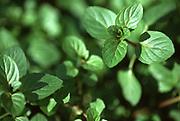 Close up selective focus photograph of Peppermint plants