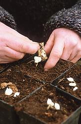 Lily bulb scaling. Potting up bulblets